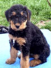 Airedale Welpe