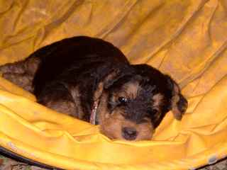 Airedale Terrier Welpe